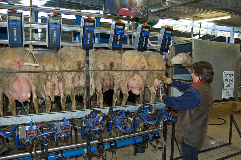 milking15.jpg