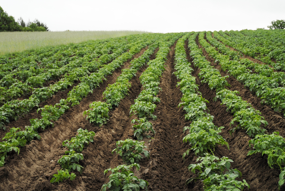 Everything comes from the soil. One of Vestal Vodka's potato fields.