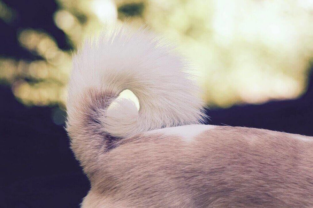 Rücken von Hund mit Hundeschwanz