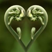 fiddlehead fern.jpg