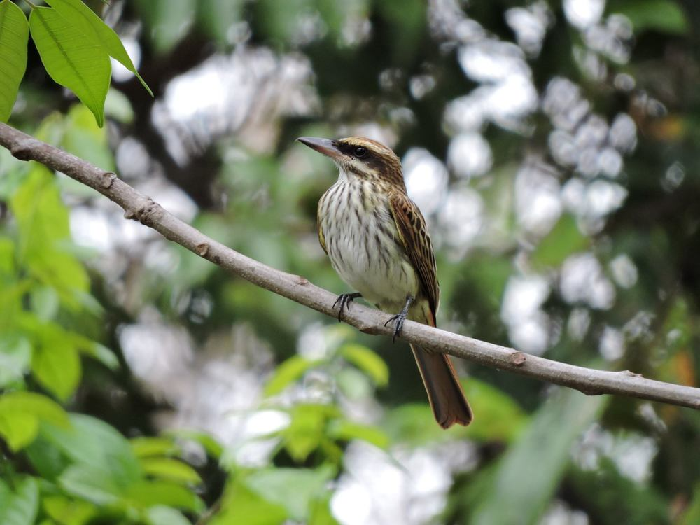 Streaked Flycatcher by Ray Brown, Nikon P600 courtesy of Hunt's Photo.  HuntsPhotoandvideo.com