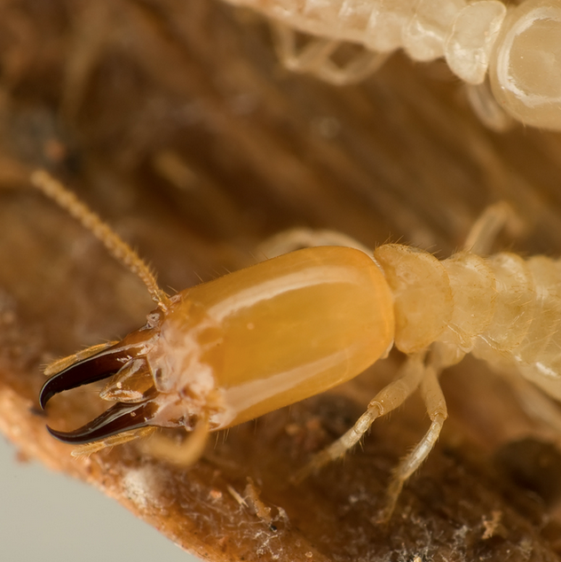 "Native Subterranean Termites<a href=""/nativesubterraneantermites"">→</a><strong>Reticulitermes spp. Coptotermes spp.  Heterotermes spp.</strong>"