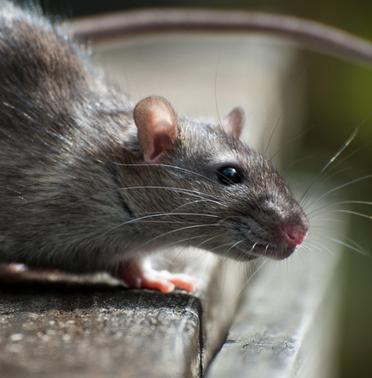 "Rats & Mice<a href=""/rats-and-mice"">→</a><strong>Order Rodentia</strong>"