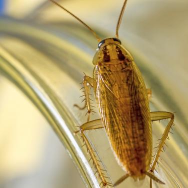 """Roaches<a href=""""/roaches"""">→</a><strong>Order Blattodea</strong>"""