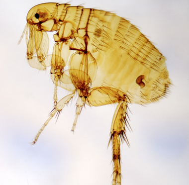 "Fleas<a href=""/fleas"">→</a><strong>Order Siphonaptera</strong>"