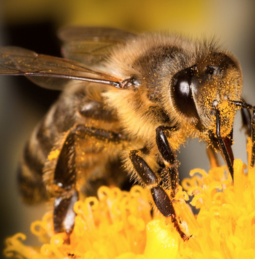 "Honey Bees<a href=""/honeybees"">→</a><strong>Order Hymenoptera</strong>"