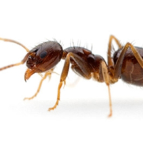 "Crazy Ants<a href=""/crazy-ants"">→</a><strong>Nylanderia fulva</strong>"