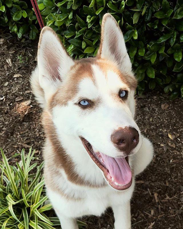 Such beautiful blue eyes! #huskyheaven #huskydog #huskymodel #dogs_of_instagram
