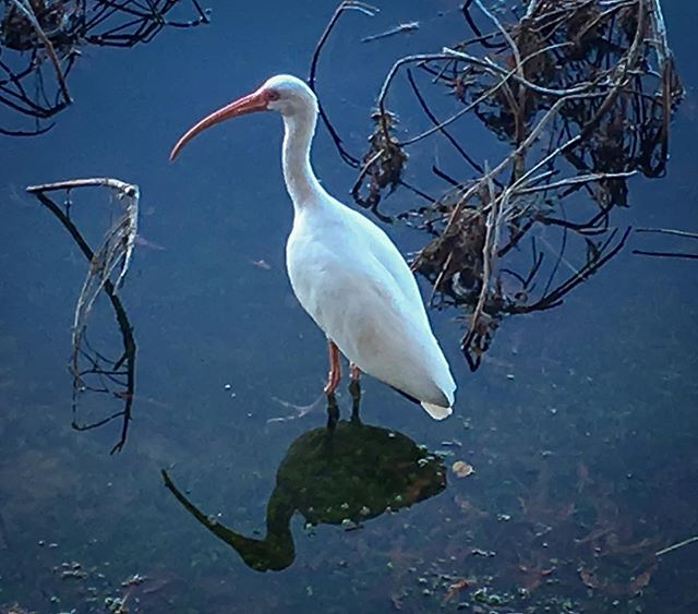 American white ibis. Cool bird! #birdsofinstagram #birdlover #floridabirds #birdsofflorida #naturephotography #naturelovers