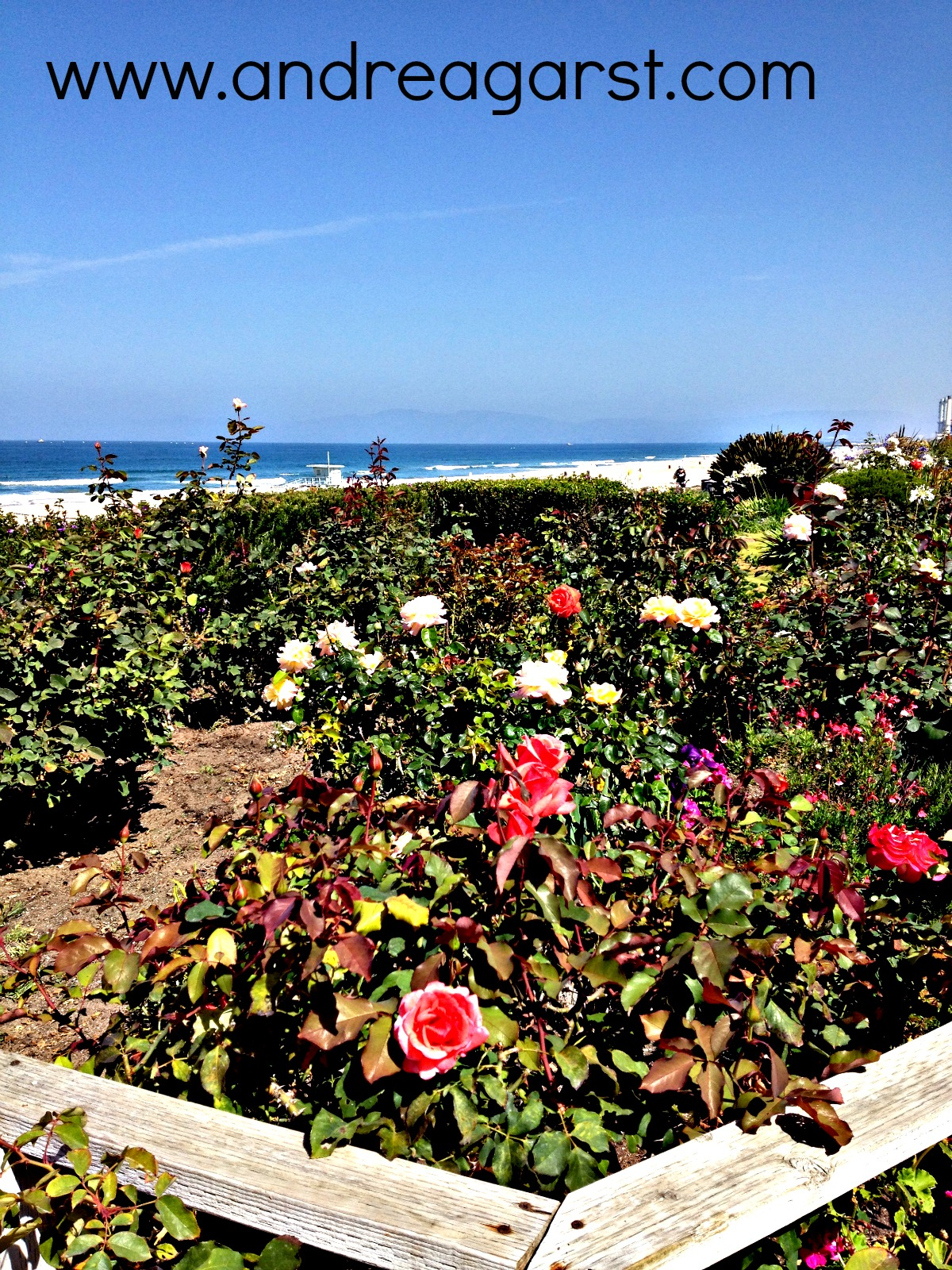 I love that the homeowners on the Strand plant so many types of roses. They look and smell amazing!