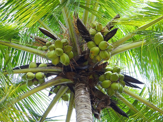 coconut-palm