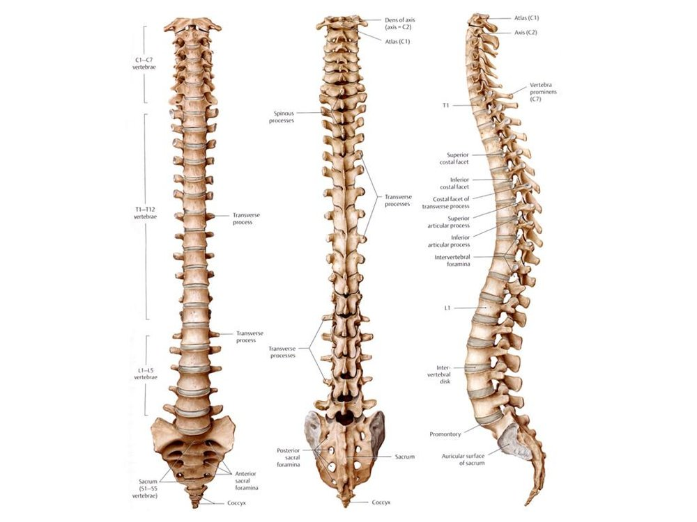 Thoracic spine is comprised of the 12 segments in the middle of the back.