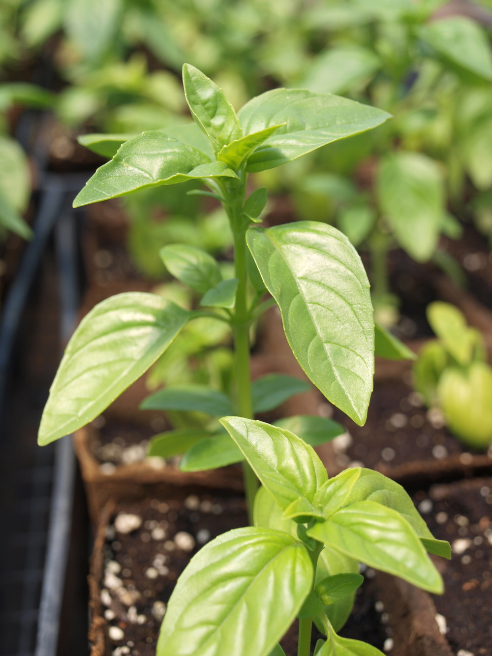 A young basil seedling.