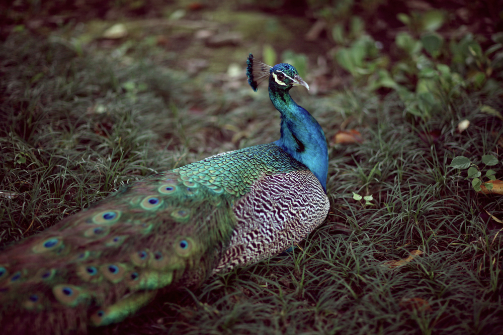 TCS-peacock3.jpg