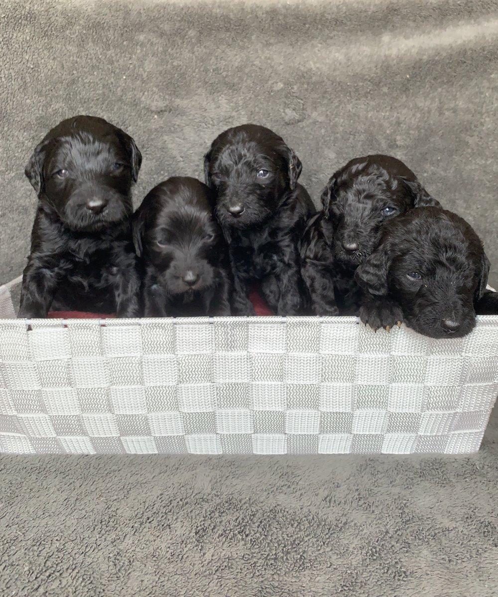 Black pups.jpeg