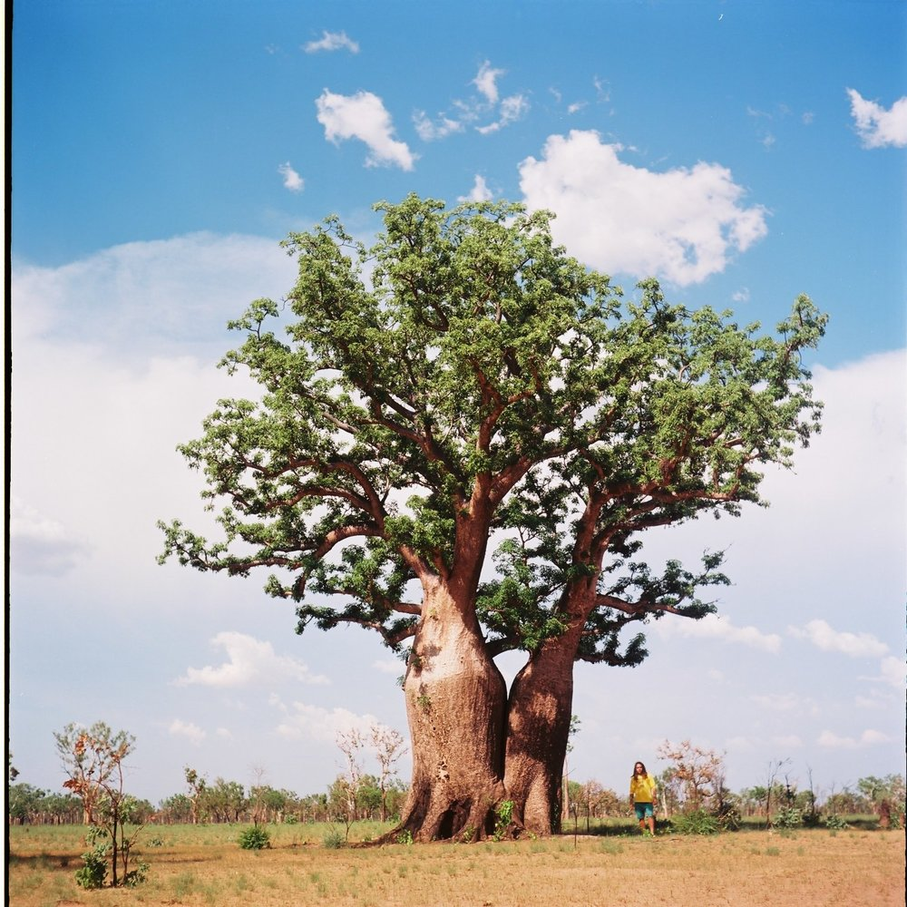 The Boab Tree, a Kimberley icon.  Yashica Mat | Kodak Ektar 100