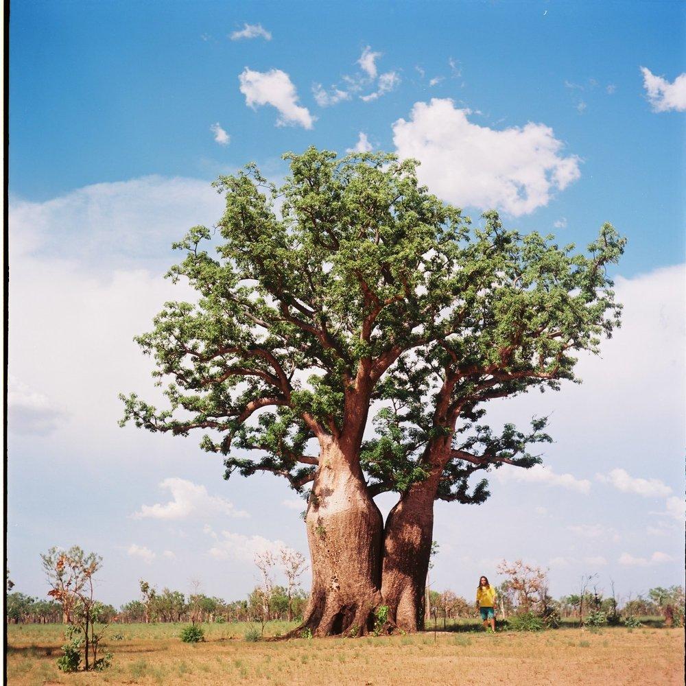 The Boab Tree, a Kimberley icon.  Yashica Mat | Kodak Ektar 100