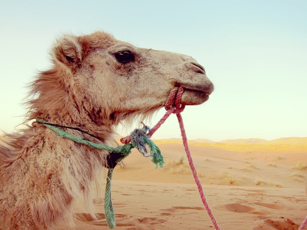Sunset Camel - Sahara Desert, Morocco