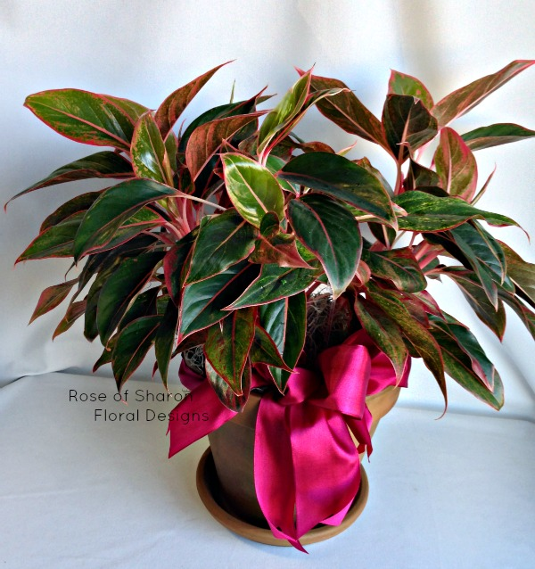 Potted MultiColored House Plant, Rose of Sharon Floral Designs