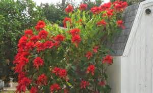 Poinsettia%2Bbush.jpg