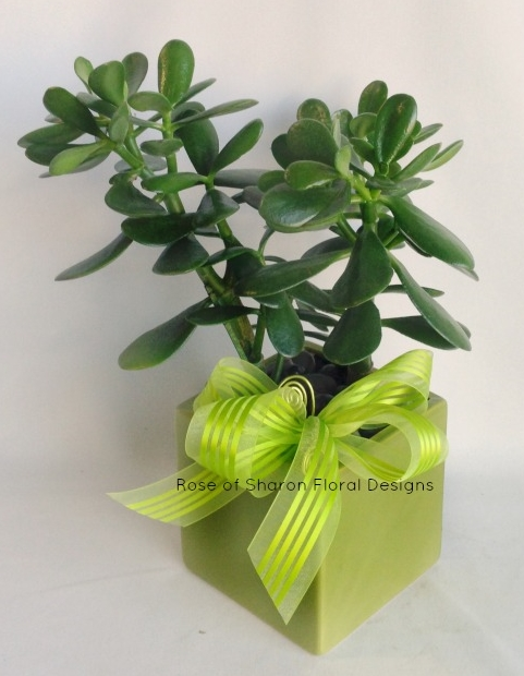 Jade Plant, Rose of Sharon Floral Designs