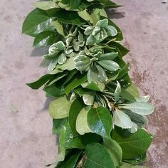 Salal + pittisporum garland $16/ft