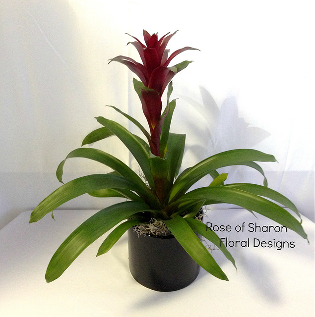 Bromeliad Potted Plant