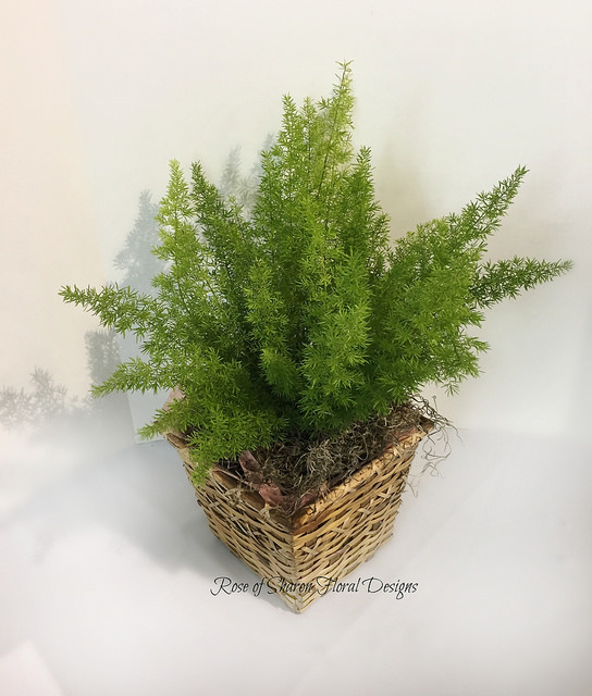 Asparagus Fern Potted Plant