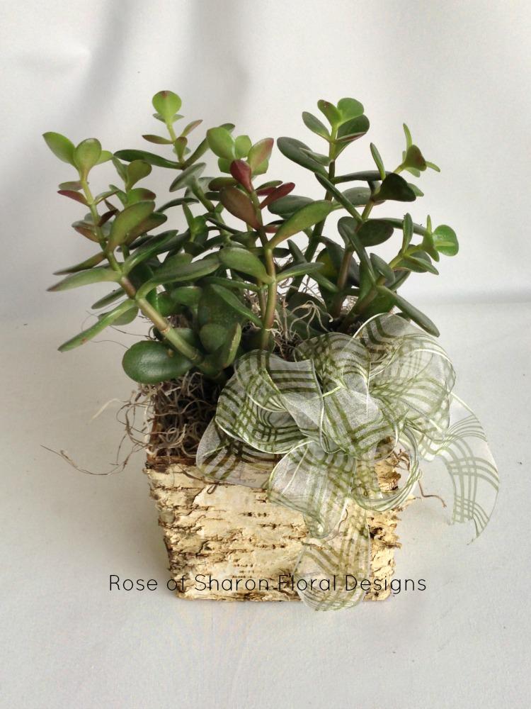 Jade Succulent House Plant
