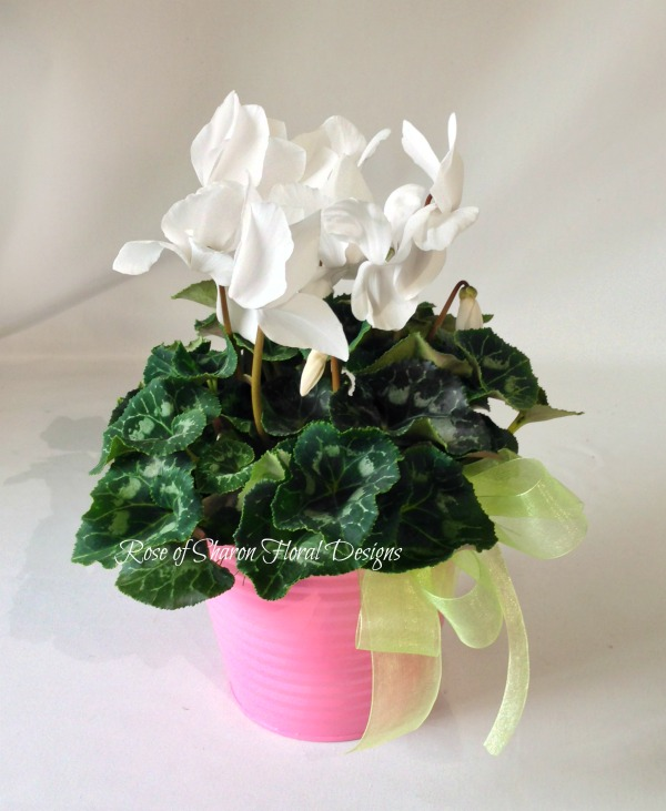White Cyclamen Potted Plant
