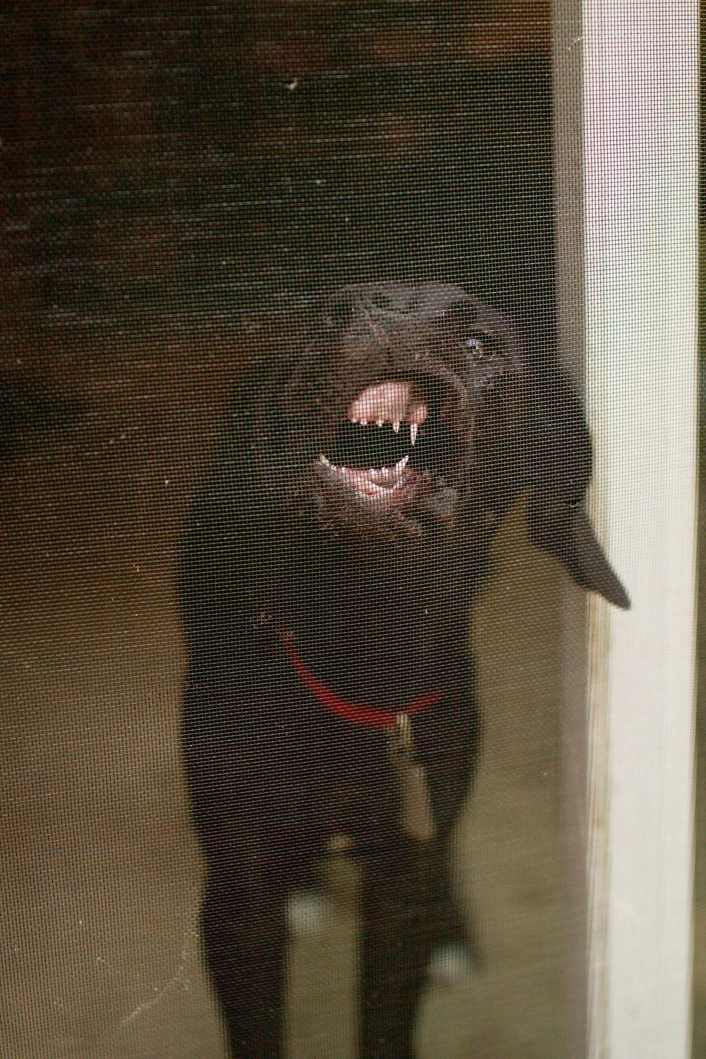 Here's a shot of Luna. Chewing on the screen door. She also eats mud.