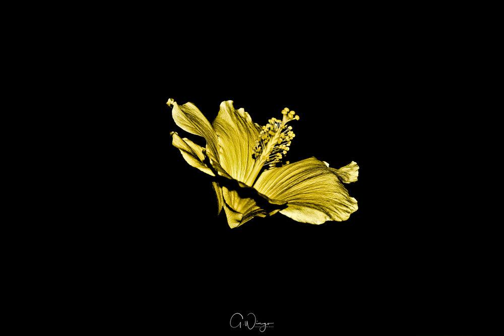 Gold Hibiscus