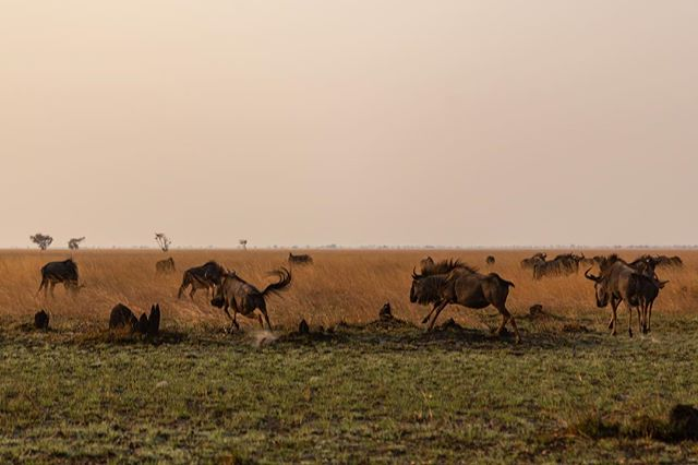 Following the wildebeest migration through the Liuwa Plains.