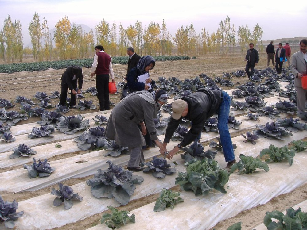 lattuga_afghanistan.jpg