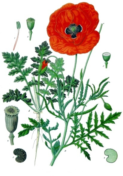 The Papaver Somniferum remedy comes from the dried latex of the poppy. Image by Franz Eugen Köhler