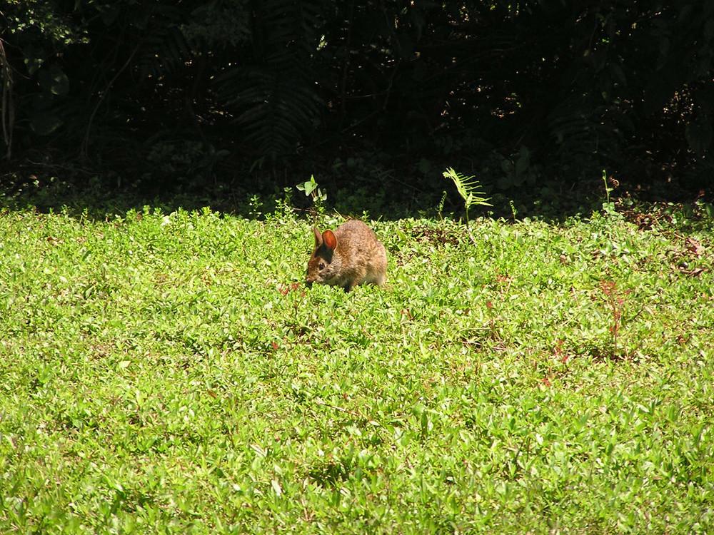Marsh Hare.jpg