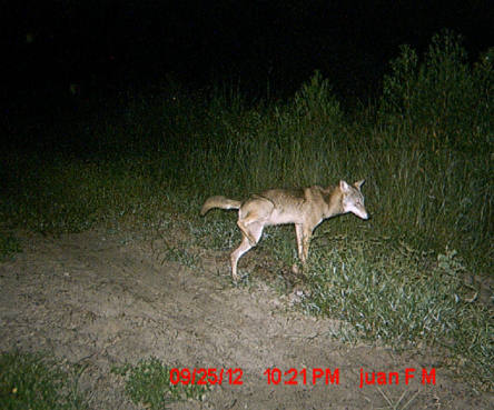 Mr. Coyote is marking his territory.  He has no idea that a medium sized constrictor can make him a meal.