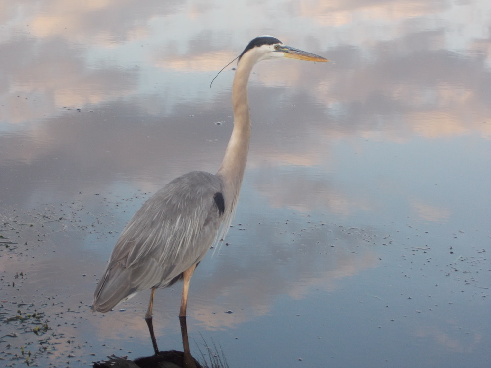 Great Blue Heron.  Here today gone tomorrow.