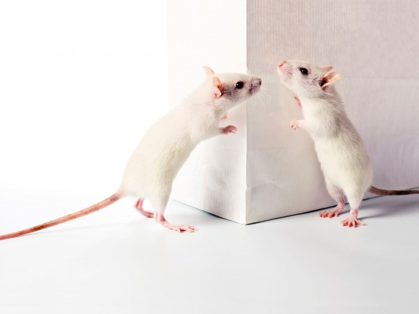 150109 Science Rat Buddies.jpg