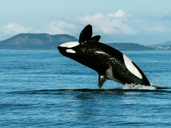 Menopausal killer whales are family leaders.