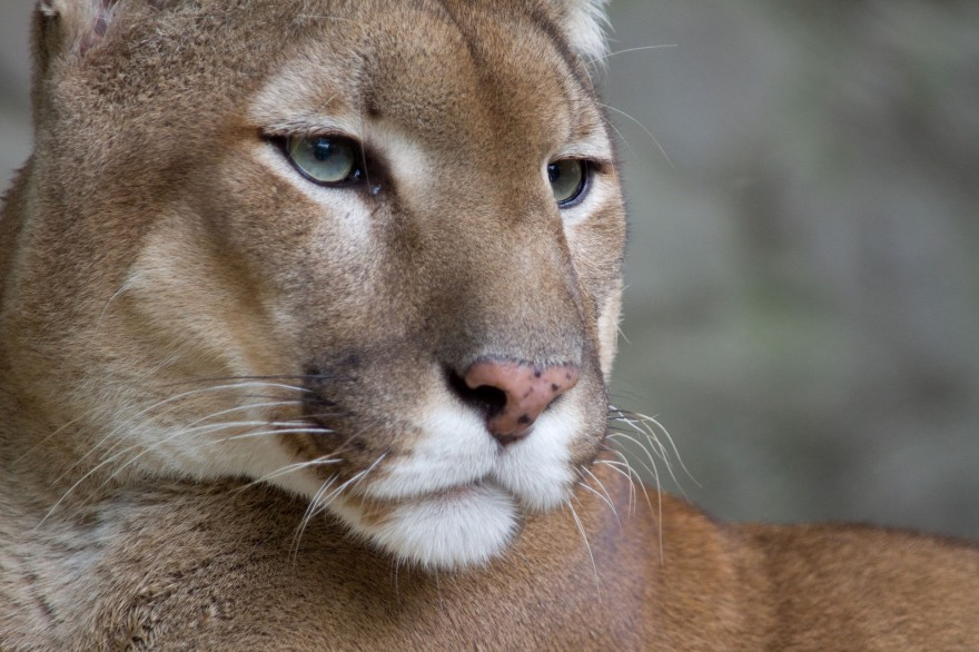 outdoorhub-albertas-mountain-lion-population-triples-human-encounters-on-the-rise-2015-04-13_14-50-59-880x586.jpg