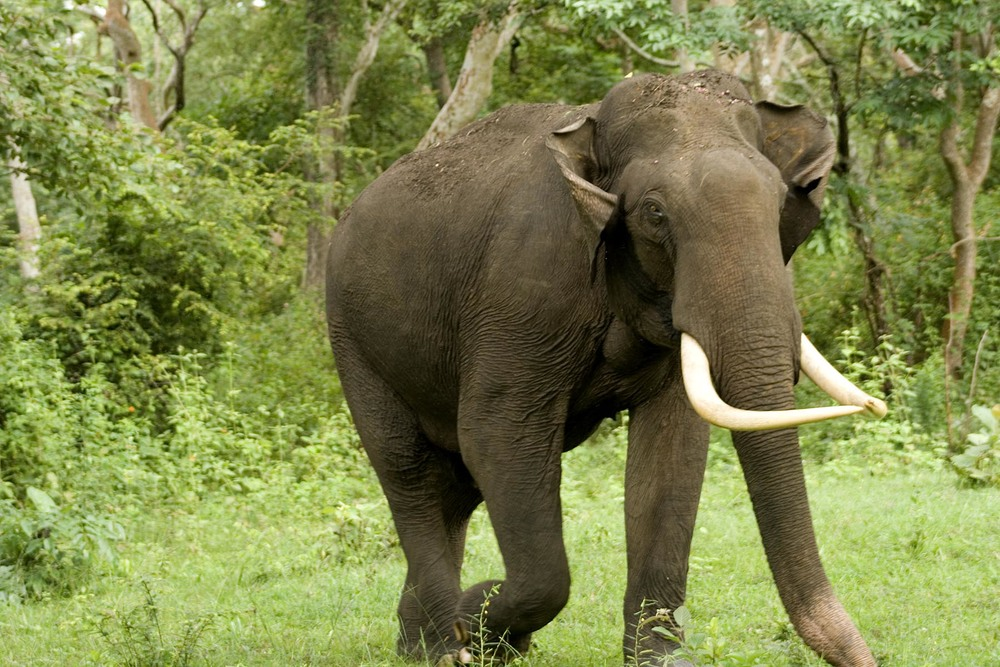 The elephants, native to India, invade local farmland. Image via mpmurthy.files.wordpress