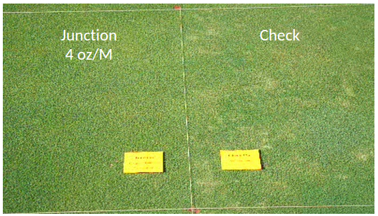 Two plots of turfgrass, one untreated, the other treated with Junction at 4 oz/M.