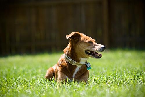 Dogs enjoy turf grass too (image via dogfriendlygarden.com)