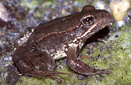 Red-legged frog (photo by Rana aurora, image via wikipedia.org)