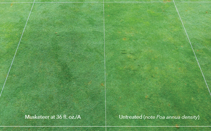 Poa annua control following applications of Musketeer (left) on a creeping bentgrass/Poa annua fairway compared to untreated (right).