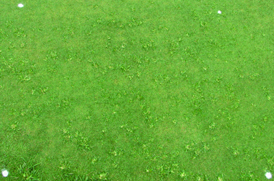 A heavily-infested putting green (photo by S. McElroy).