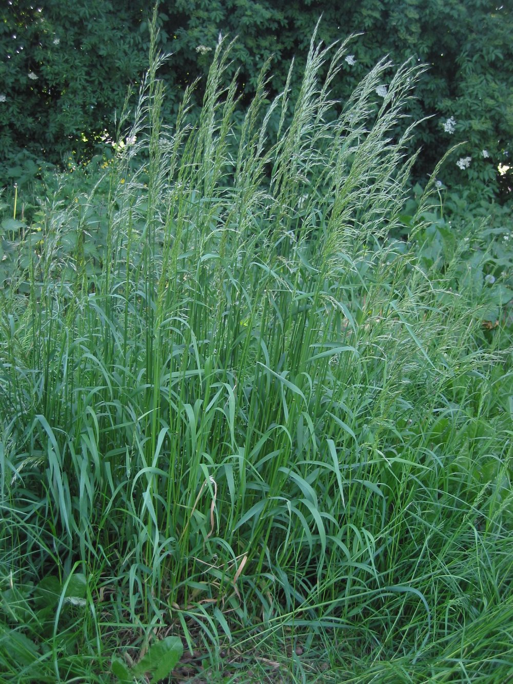 Tall oatgrass (wikepedia.org).