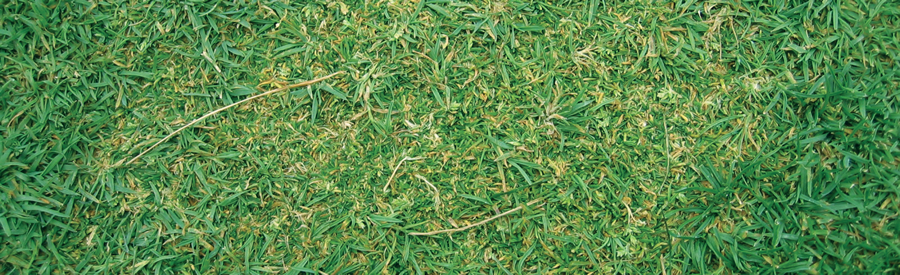 Cutless selectively suppresses growth of Poa annua allowing creeping bentgrass to re-establish.