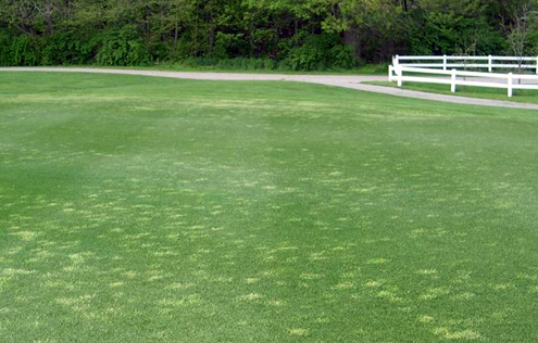 Poa annua stands on a fairway.